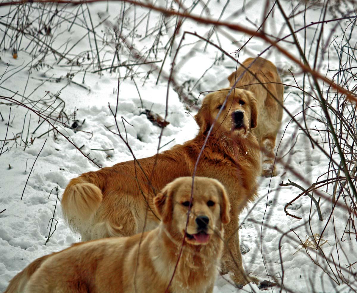 Harborview Golden Retrievers | Golden Retrievers, Puppies