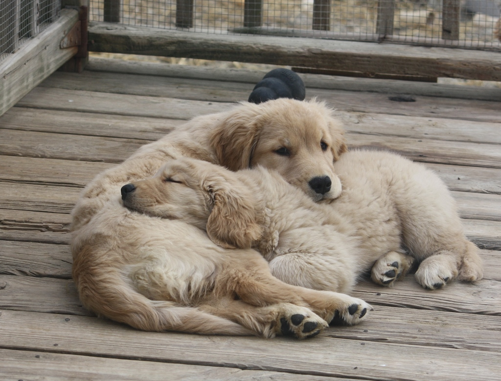 Harborview Golden Retrievers | Golden Retrievers, Puppies