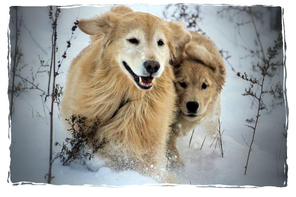 Harborview Golden Retrievers Golden Retrievers Puppies Breeders Pa