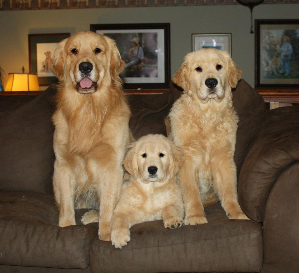 About Us | Harborview Golden Retrievers